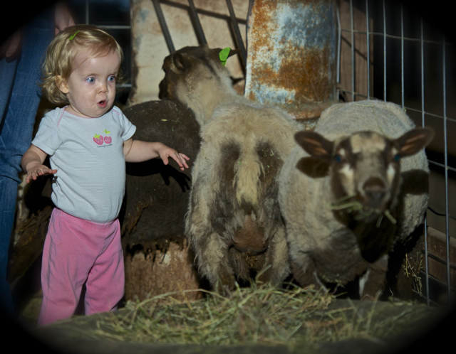 Addison Zimmerman enjoys the sheep at the Staheli Family Farms Pumpkin fest