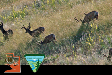 Group of mule deer bucks, location and date unspecified |  Background Photo by Lynn Chamberlain, courtesy of Utah Division of Wildlife Resources, St. George News