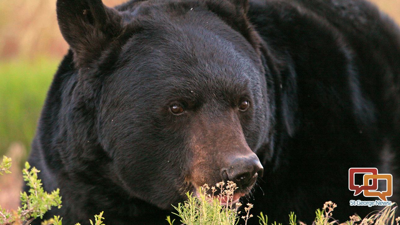 Black bears doing well wildlife officials recommend for Utah fishing license cost 2017