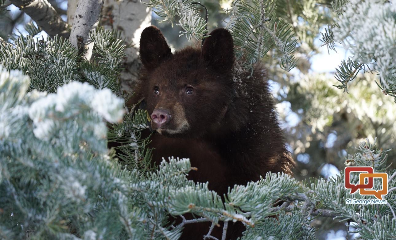 Growing bear population prompts Utah Wildlife Board to ...