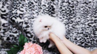 Micro Mini Teacup Pomeranian Puppies For Sale Cedar City News